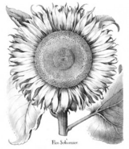 sunflower to color